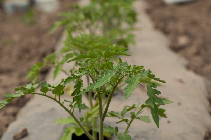 Jonge zaailingen van tomaten in de tuin openlucht royalty-vrije stock afbeelding