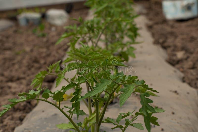 Jonge zaailingen van tomaten in de tuin openlucht stock afbeelding
