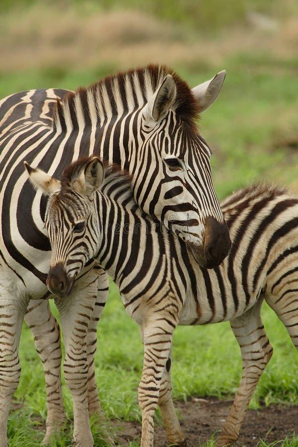 Jonge zebra met mum stock afbeeldingen