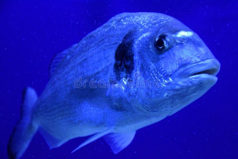 Jonge zeug-hoofd overzeese brasem onderwater stock foto
