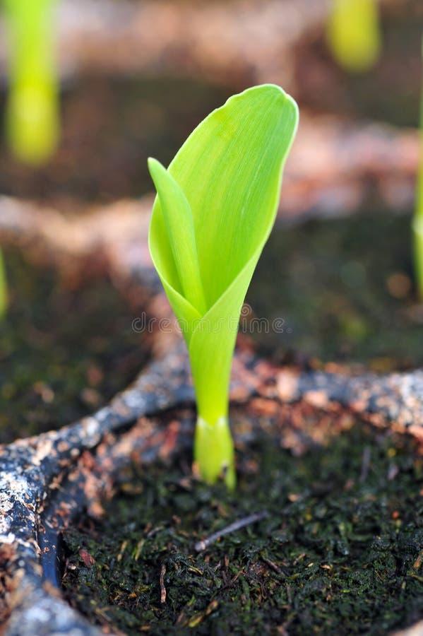 Jonge zoete maïs, maïs, suikermaïszaailing in peul voor experiment. stock foto