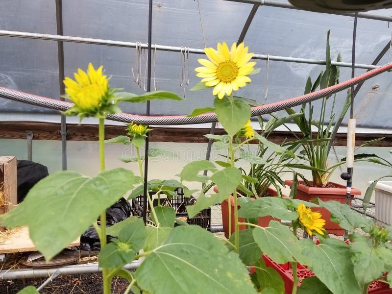Jonge zonnebloemen stock afbeelding