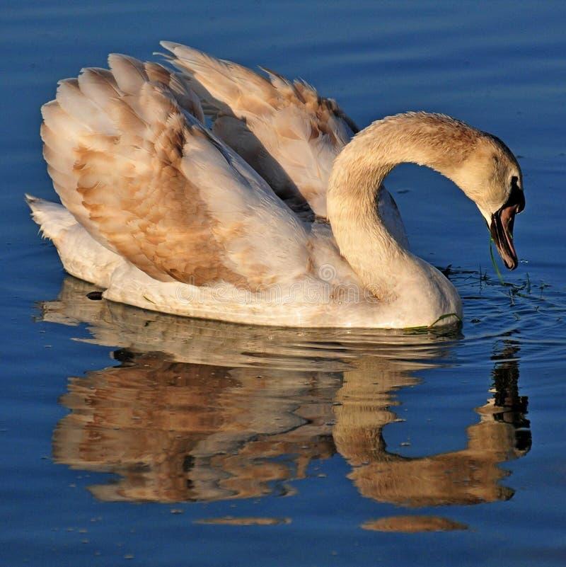 Jonge zwaan in het water van Meer Balaton wordt weerspiegeld die stock afbeelding