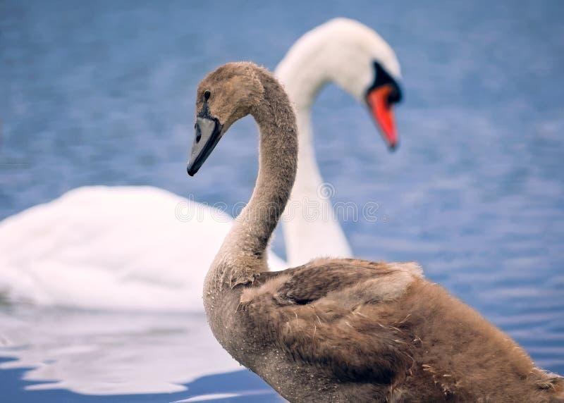 Jonge zwaan met Moederzwaan op Blauw Water stock fotografie