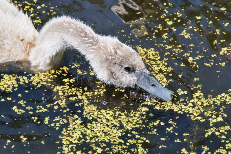 Jonge zwaan op een vijver stock foto's