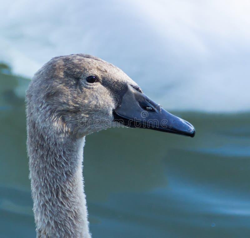 Jonge zwaan op meer Balaton stock afbeeldingen