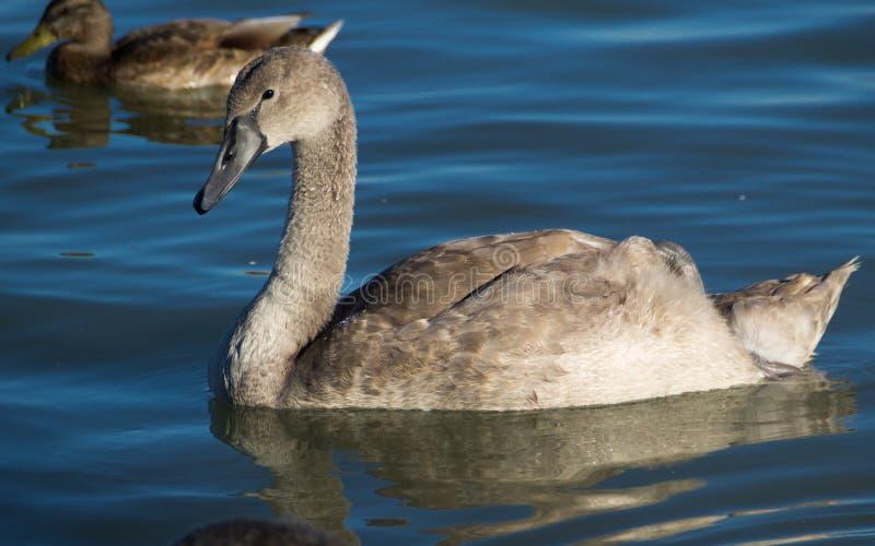 Jonge zwaan op meer Balaton stock foto