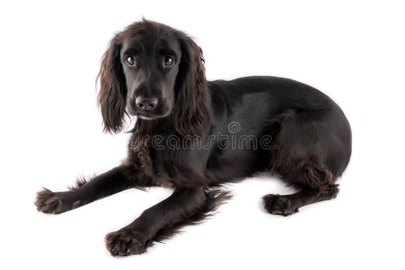 Jonge zwarte cocker-spaniël royalty-vrije stock foto