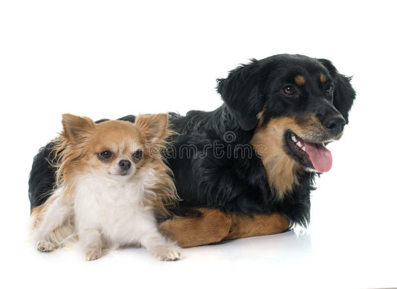 Jonge zwarte hovawart en chihuahua stock foto