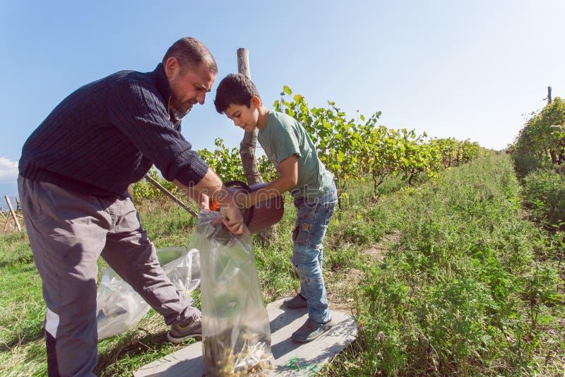 Jongen die met vader bij druiven het oogsten bij landbouwbedrijf met wijngaard werken royalty-vrije stock fotografie
