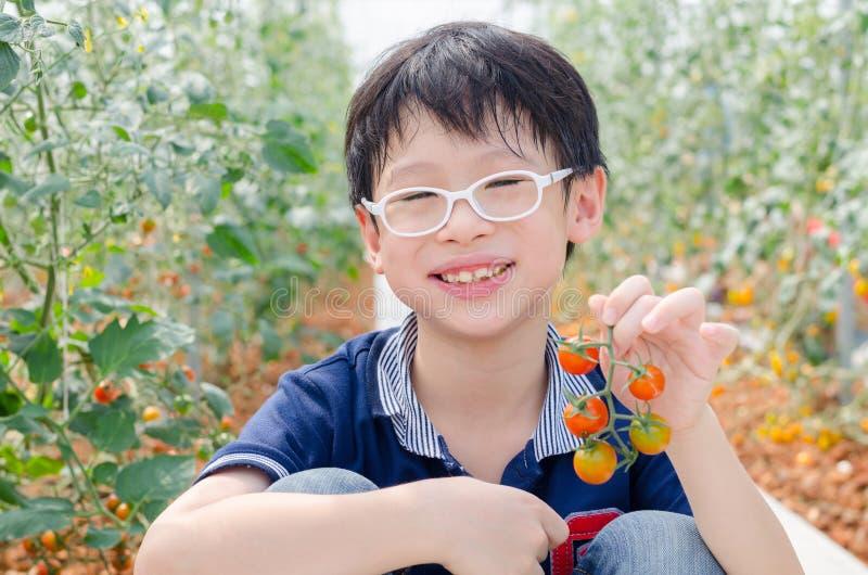Jongen het plukken tomaten in landbouwbedrijf royalty-vrije stock foto