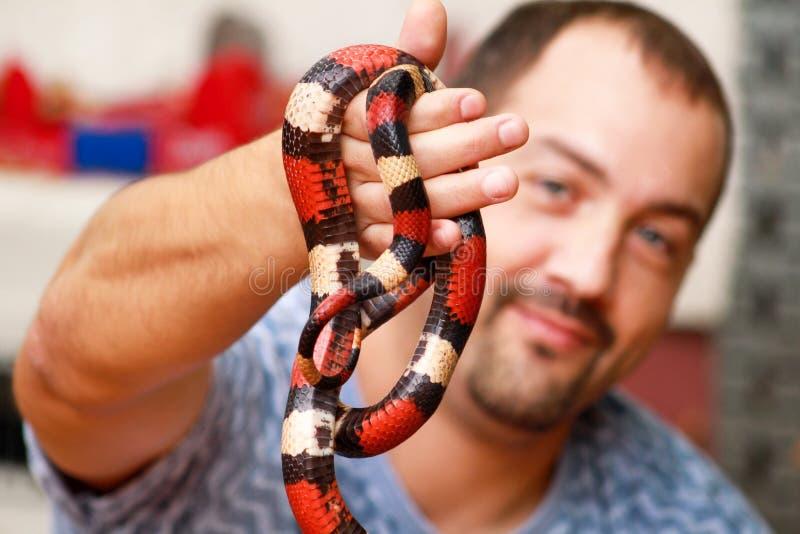 Jongen met slangen De mens houdt in van de slanglampropeltis van de handen het reptielmelk soort van triangulumarizona slang stock fotografie