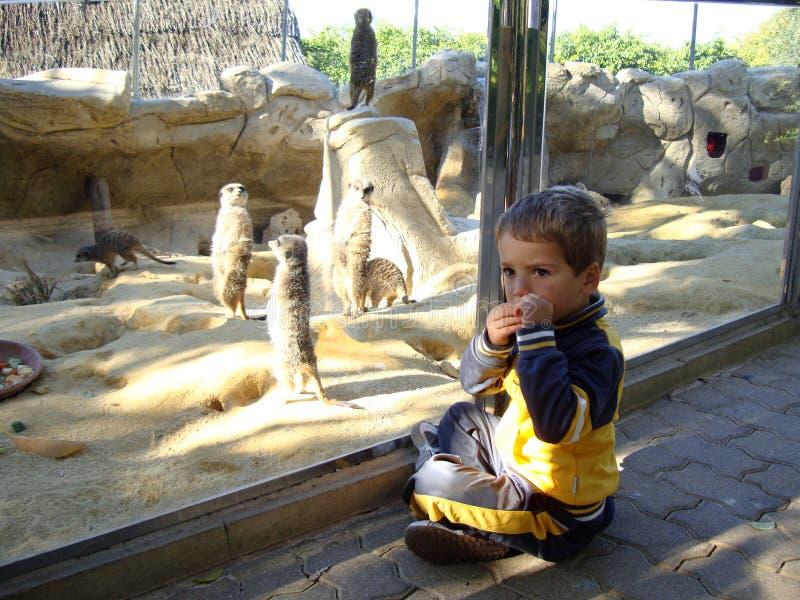Jongen met suricats stock foto