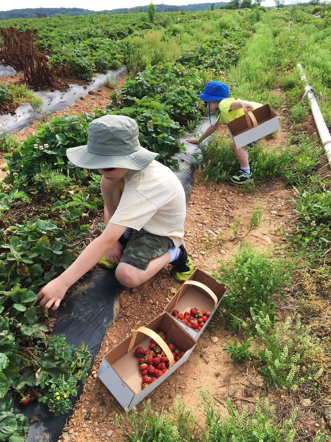 Jongens die aardbeien op een gebied plukken stock foto