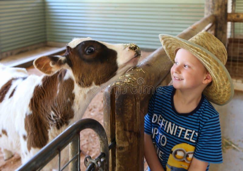 Jongens voedende koe in het landbouwbedrijf van het paradijsland aussie, gouden kust, Australië stock afbeelding