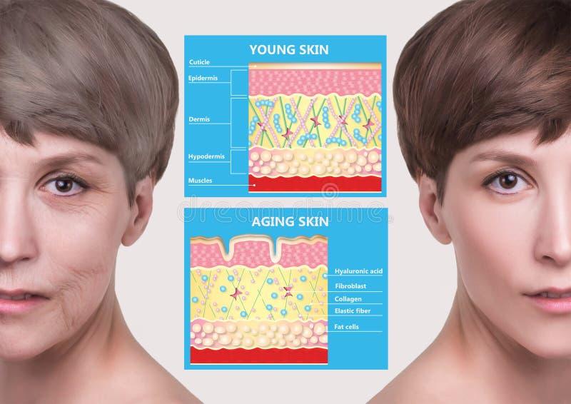 Jongere huid en het verouderen huid elastine en collageen stock foto's
