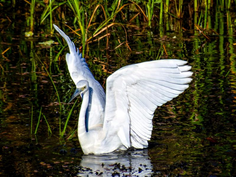 Jongere Weinig Blauwe Reiger, die een zwaan beweren te zijn stock afbeeldingen