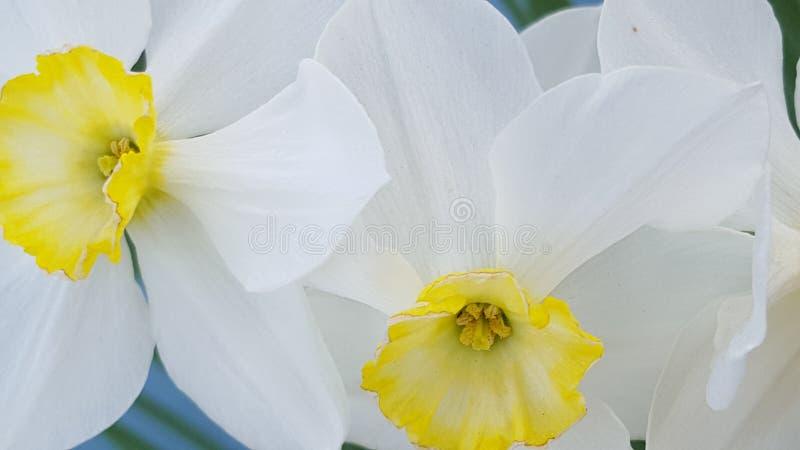Jonquil Ð narcyz daffodils Ð ½ Ð°Ñ€Ñ † Ð¸Ñ  Ñ  Ð ¿ Ð ¾' ÐΜÐ ² Ð ¾ Ð ¹ fotografia stock