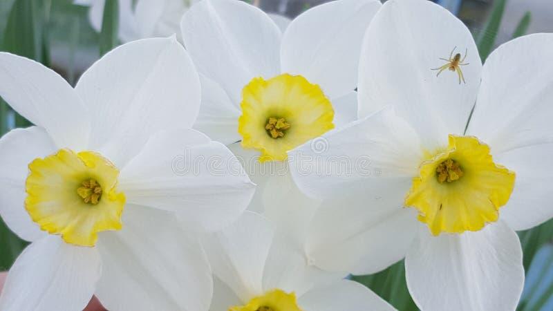 Jonquil Ð narcyz daffodils Ð ½ Ð°Ñ€Ñ † Ð¸Ñ  Ñ  Ð ¿ Ð ¾' ÐΜÐ ² Ð ¾ Ð ¹ zdjęcia royalty free