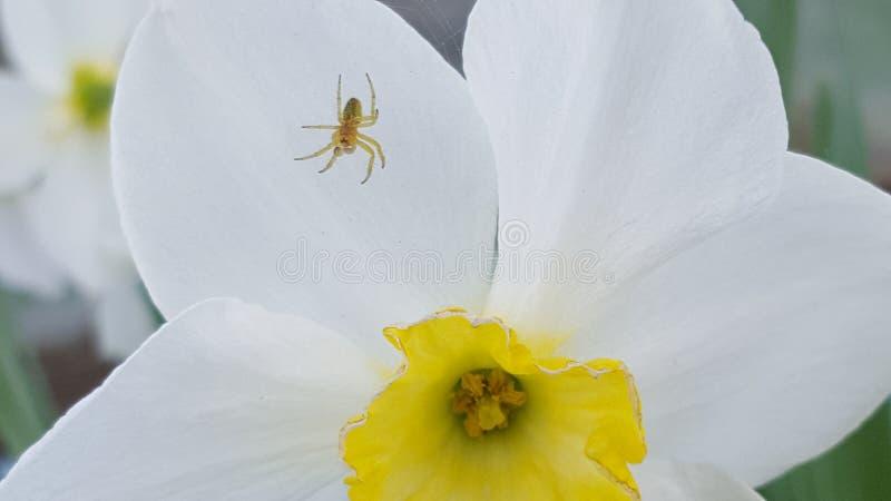 Jonquil Ð narcyz daffodils Ð ½ Ð°Ñ€Ñ † Ð¸Ñ  Ñ  Ð ¿ Ð ¾' ÐΜÐ ² Ð ¾ Ð ¹ pająk fotografia stock