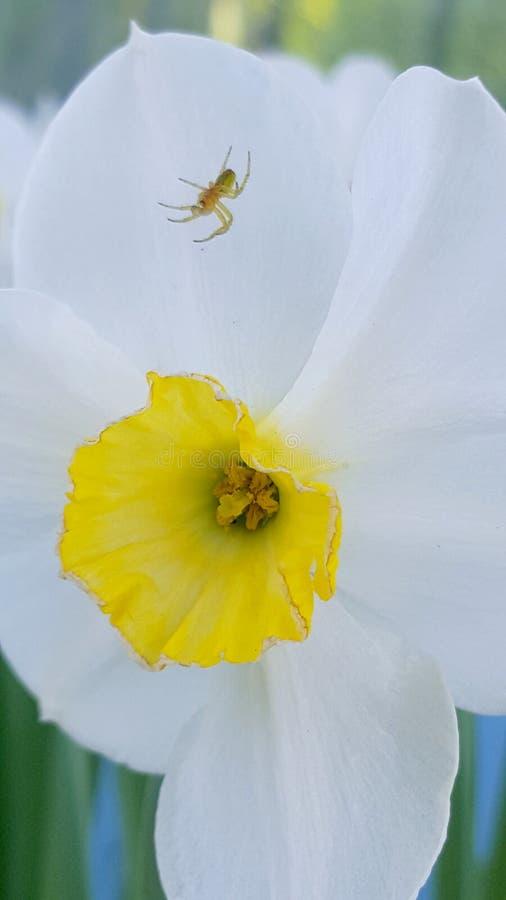 Jonquil Ð narcyz daffodils Ð ½ Ð°Ñ€Ñ † Ð¸Ñ  Ñ  Ð ¿ Ð ¾' ÐΜÐ ² Ð ¾ Ð ¹ pająk obrazy stock