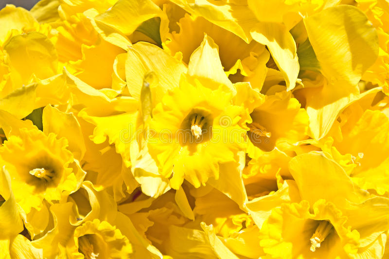 Jonquil #01 photo stock