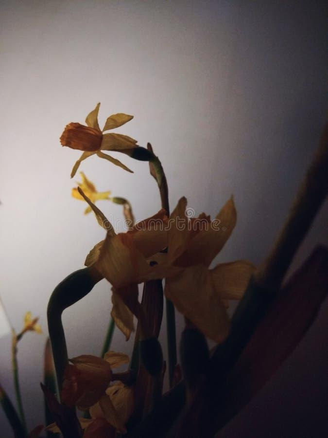 Jonquil Blumen stockbilder