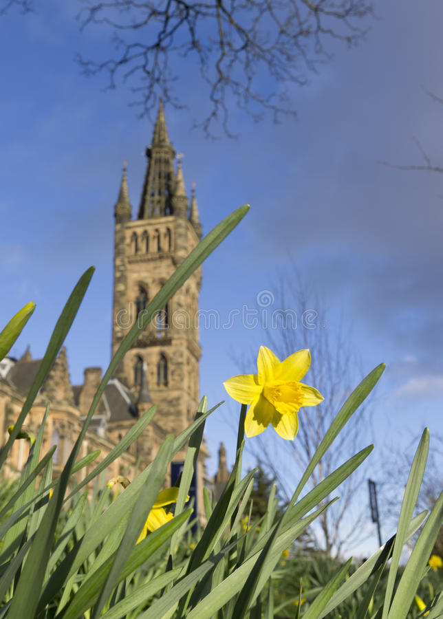 Jonquille au printemps près d'université de Glasgow images stock