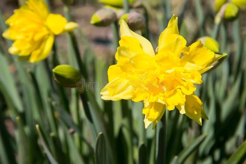 Jonquille jaune dans l'herbe images stock