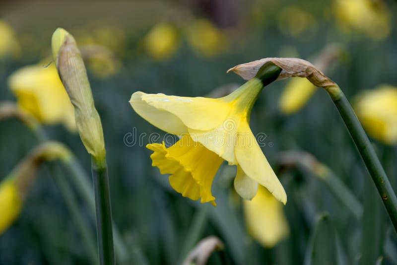 Jonquille jaune de fleur photo stock