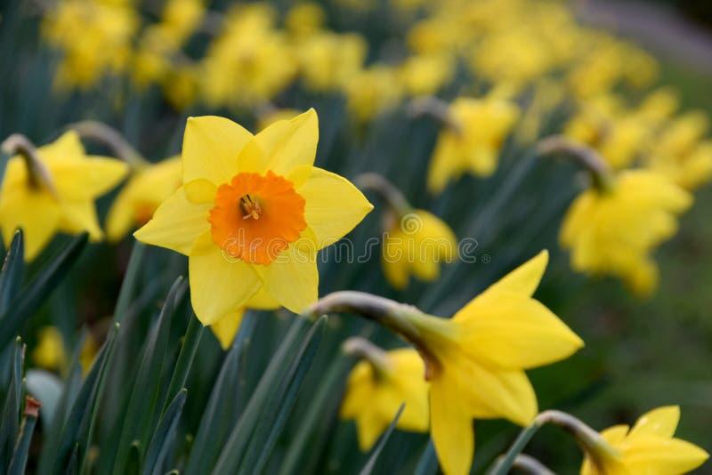 Jonquille jaune de fleur image libre de droits