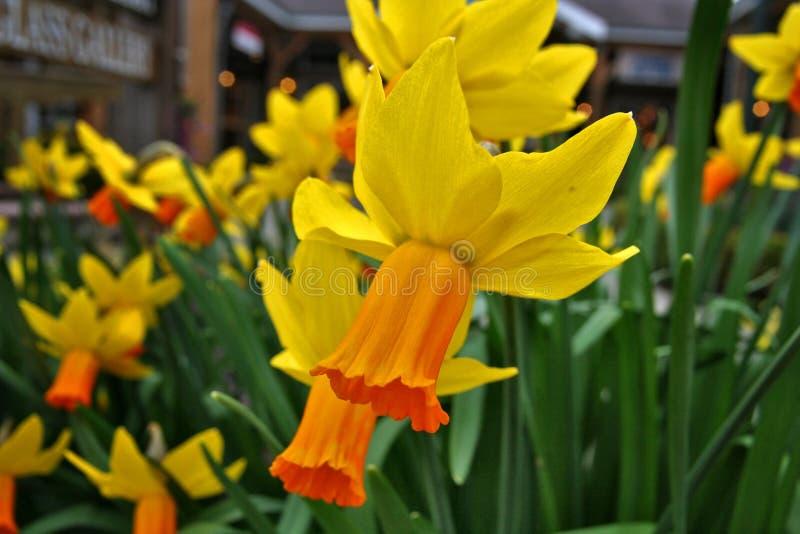 Jonquille jaune-orange photo libre de droits