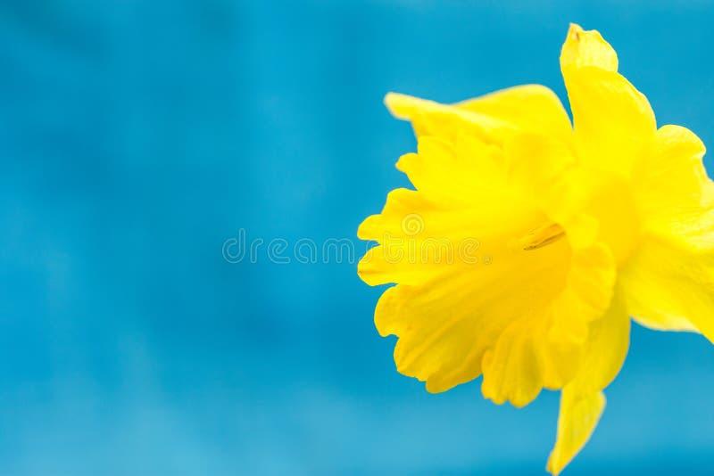 Jonquille jaune sur le fond bleu-clair, macro, résumé, copyspace pour le texte, calibre de carte de voeux photos libres de droits