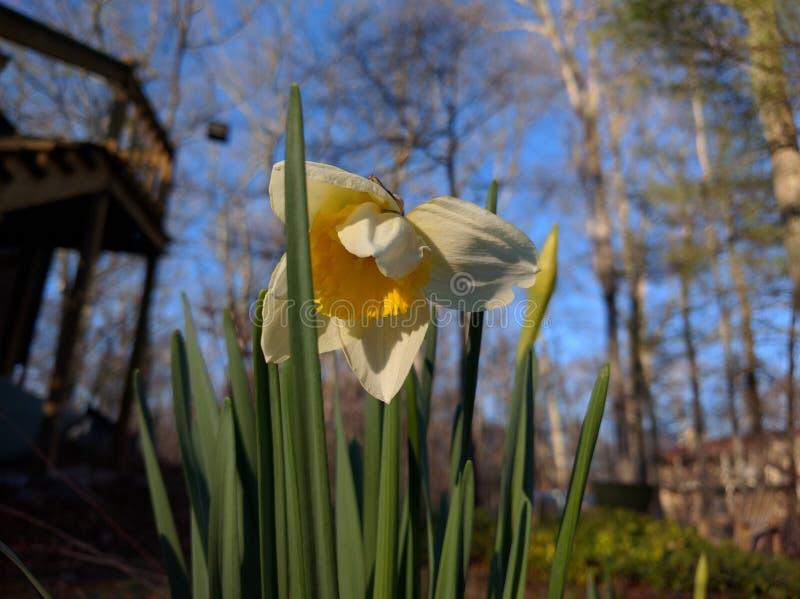 Jonquille pendant le printemps photographie stock libre de droits