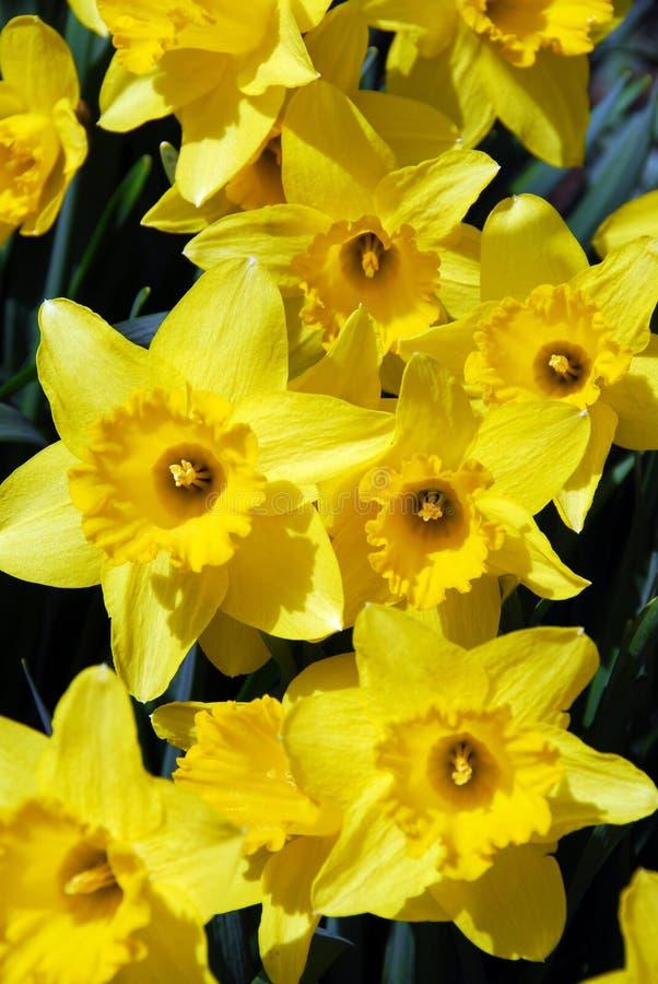 Download Jonquilles photo stock. Image du narcisse, centrale, jaune - 729266