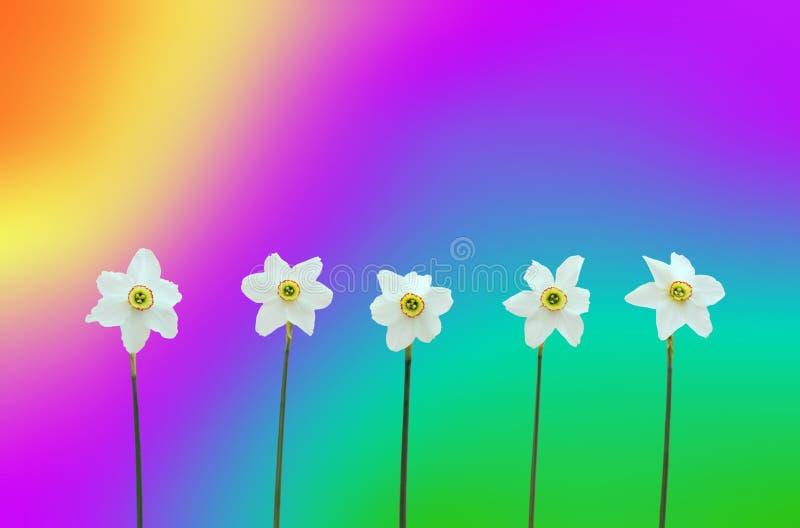 Jonquilles au-dessus de fond arc-en-ciel-coloré photo stock