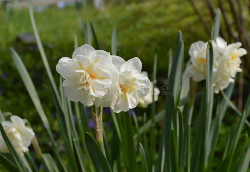 Jonquilles blanches et oranges sensibles photos stock
