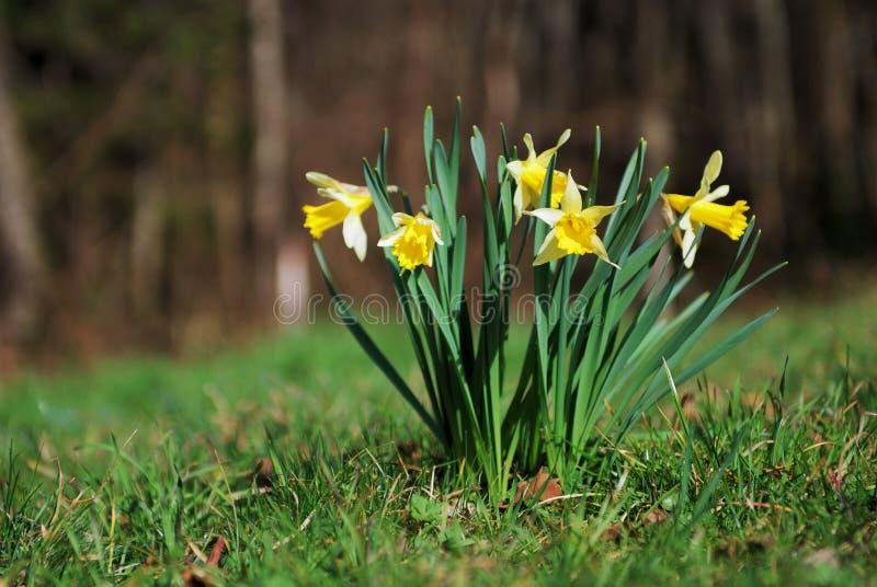 Jonquilles de printemps image libre de droits
