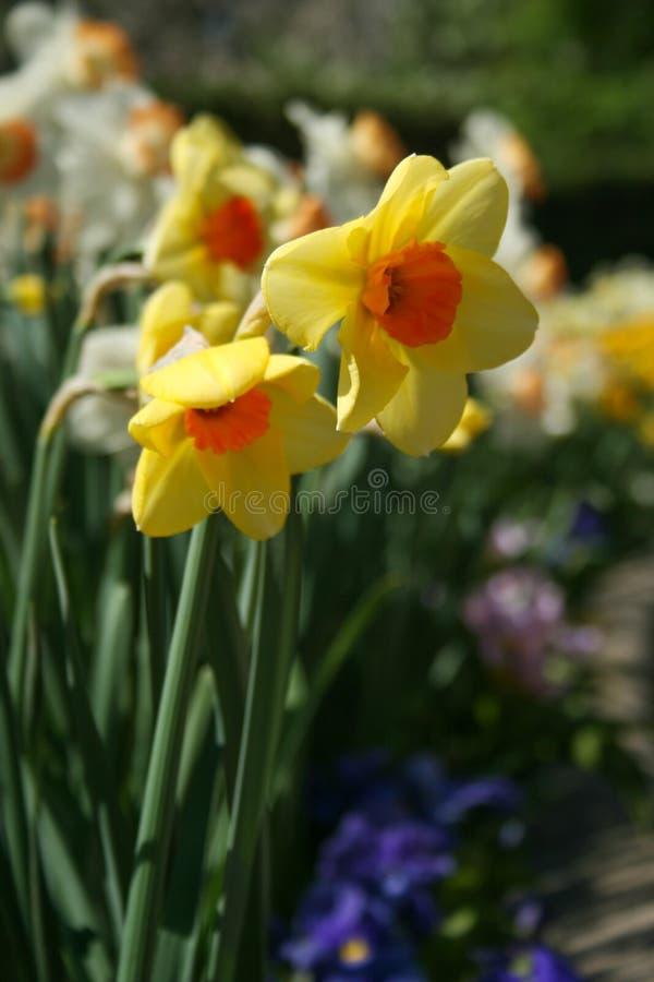 Jonquilles jaune pâle et oranges de longue tige photo stock