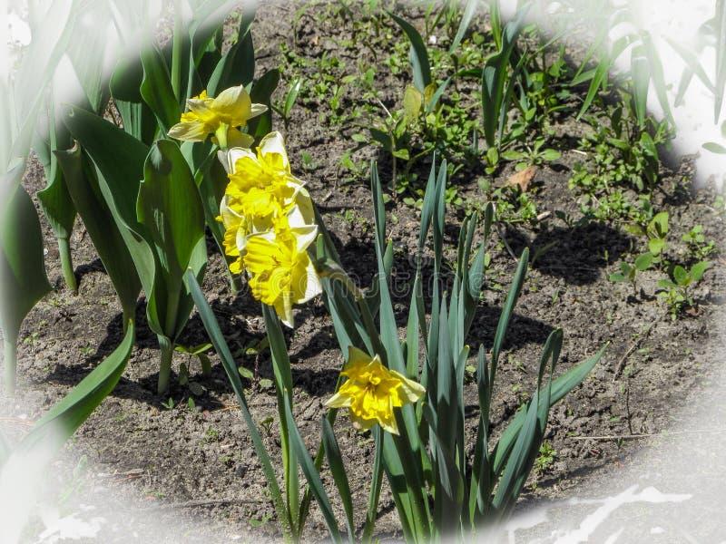 Jonquilles naturelles colorées de fleurs de ressort belles dans le jardin dans le sol en plein air images stock
