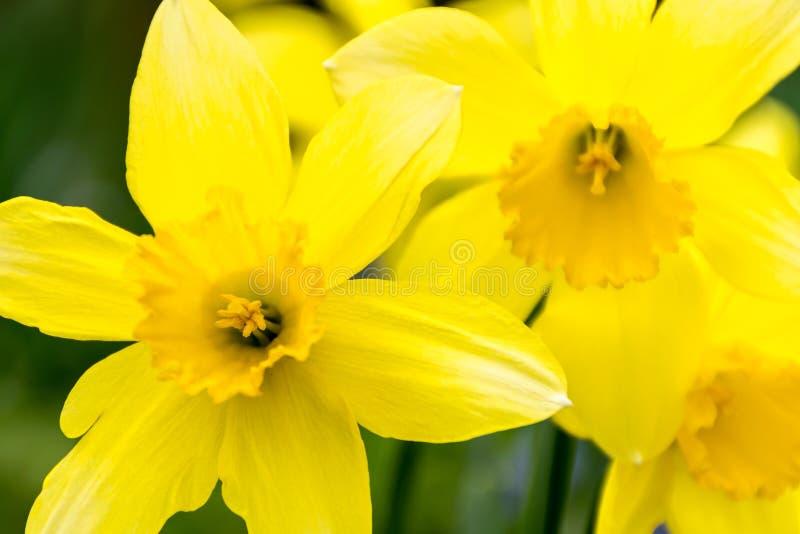 Jonquilles une journée de printemps images libres de droits