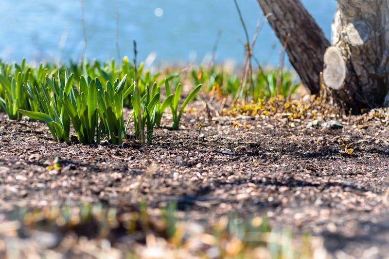 Jordögonsikt av påskliljasidor som spirar upp från jordningen i tidig vår royaltyfri fotografi