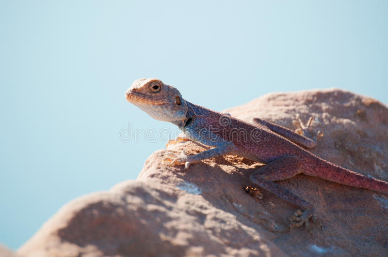 Jordan, Middle East, lizard, desert, animal. Jordan, 05/10/2013: a Sinai agama, the blue lizard, an agamid lizard found in the arid areas of Middle East royalty free stock images