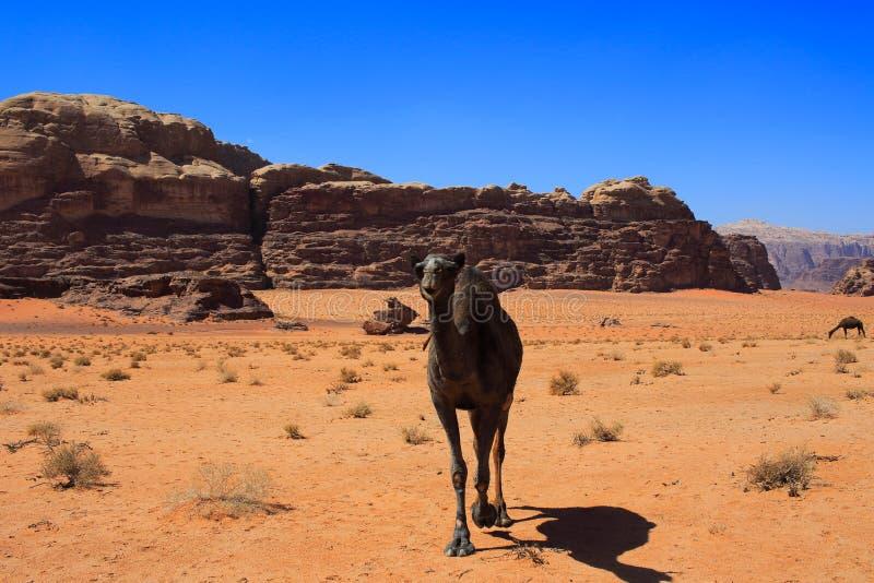 Jordan Wadi Rum Camels, Desert Tourist Location. Wadi Rum Jordan, Camping, Camels, Site Seeing, Desert, 4x4 Driving, tourist location stock image