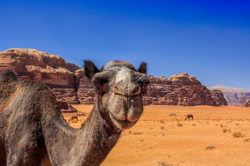 Jordan Wadi Rum Camels, Desert Tourist Location. Wadi Rum Jordan, Camping, Camels, Site Seeing, Desert, 4x4 Driving, tourist location stock photo