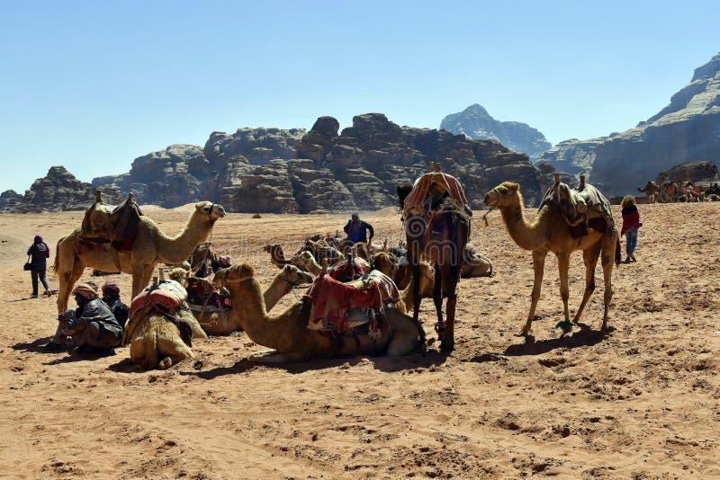 Jordanien Wadi Rum, kamel arkivbild