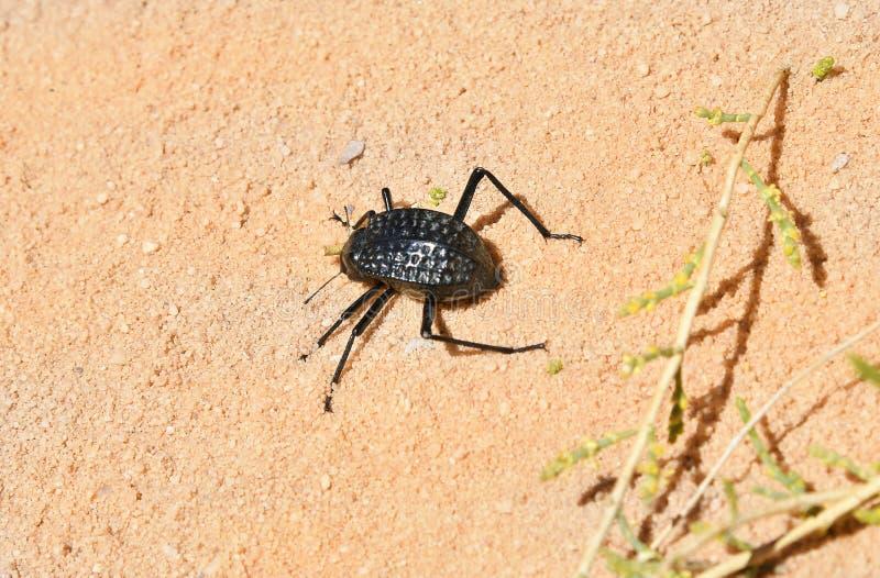 Jordanien, Wadi Rum, Zoologie stockbilder