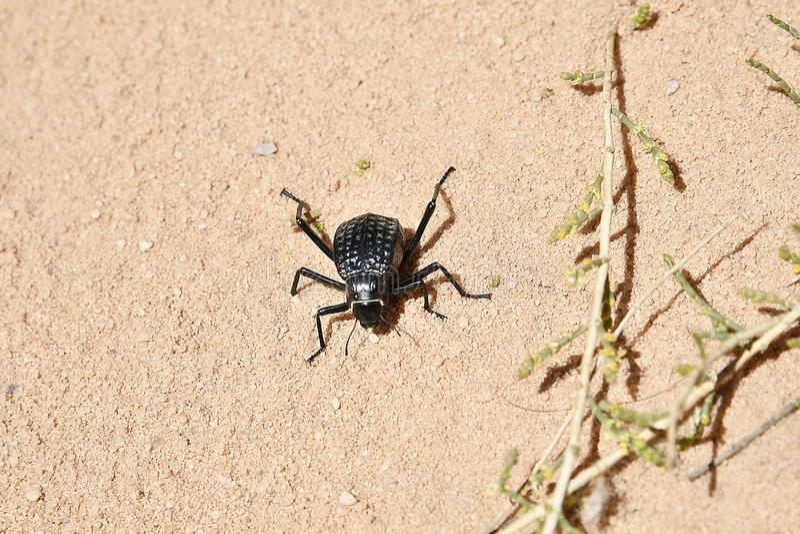 Jordanien, Wadi Rum, Zoologie lizenzfreies stockfoto