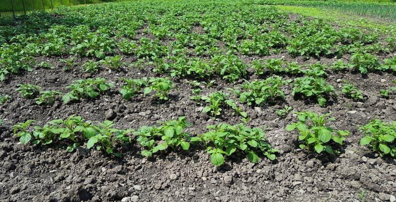 Jordbruk av potatisar arkivfoto