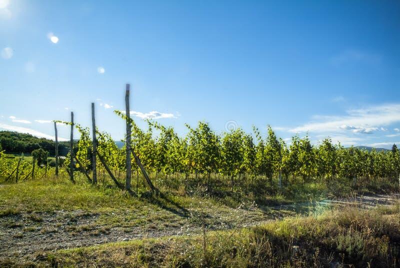 Jordbruk för druvor och vin royaltyfri bild